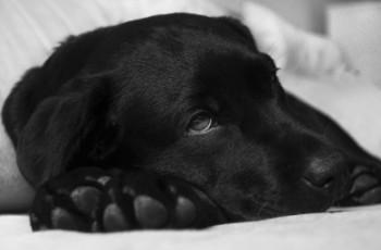 Διάταση και στροφή στομάχου σε σκύλο
