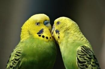 Budgie, τα δημοφιλέστερα παπαγαλάκια