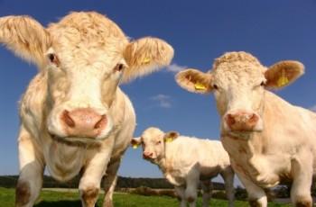 Νέα Ζηλανδία: Αγελάδες πηγαίνουν στην... τουαλέτα για να αντιμετωπιστεί το φαινόμενο του θερμοκηπίου!