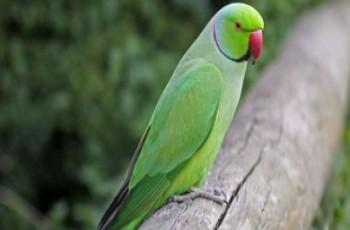Οι παπαγάλοι κατακτούν την Αθήνα και απειλούν το περιβάλλον